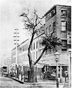 Stuyvesant pear tree
