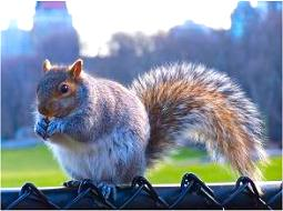 Central Park squirrel